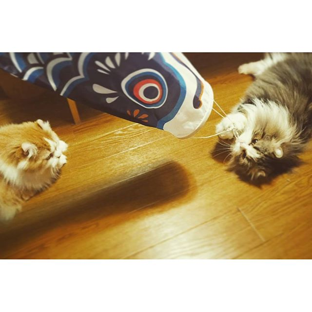 #cats #鯉のぼり