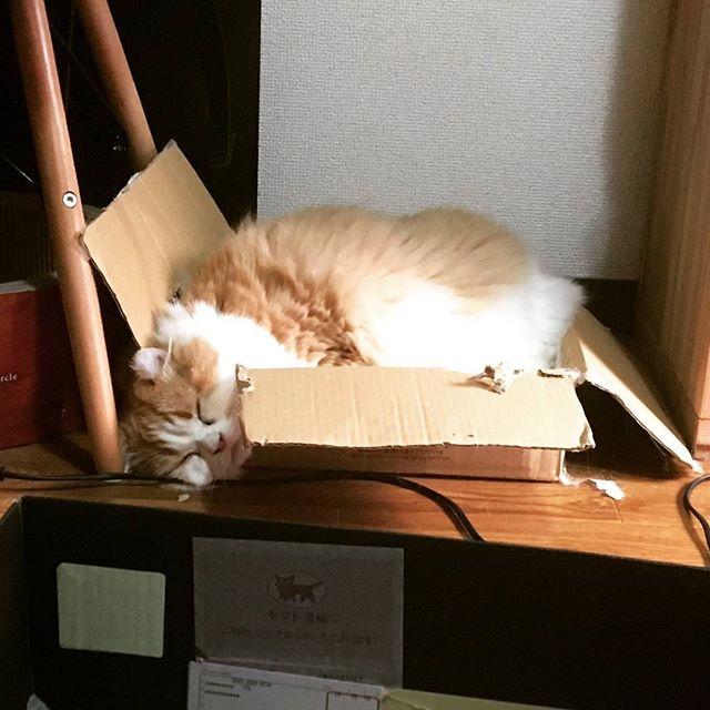 図太い#fatcat #catsofinstagram #instacat #meow #lazycat #fatty #sleepy #fluffycat