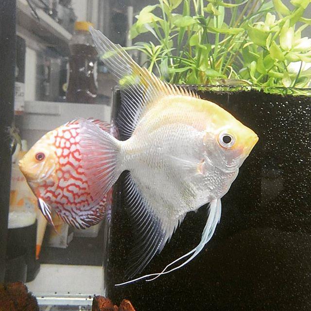 エンゼルフィッシュ#angelfish #fish #aquarium