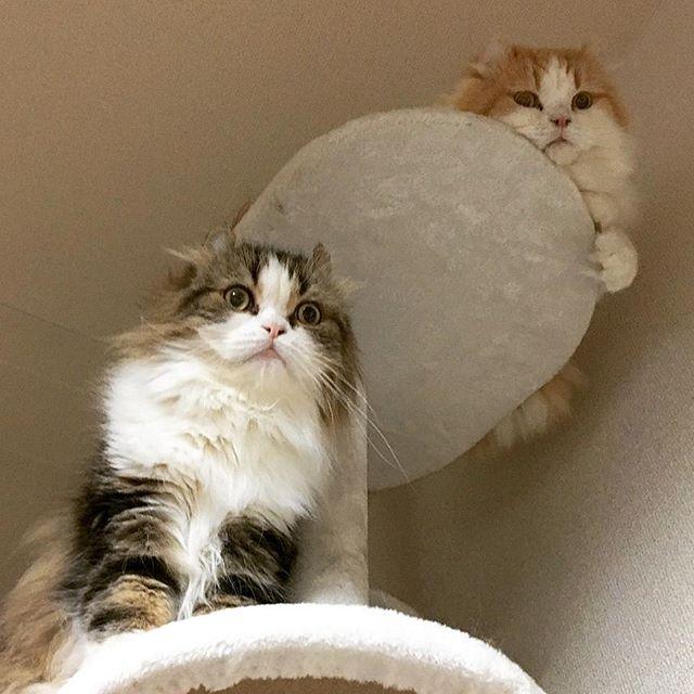 ダブルもっふ#cats #instacat #cute #猫 #animals #catlovers #catsagram