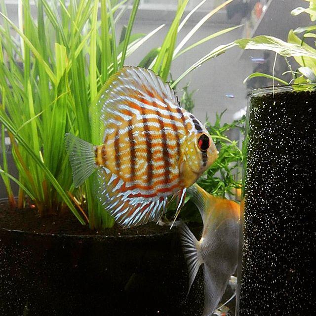 ディスカス激安超特価×二枚#discuss #fish #aquarium