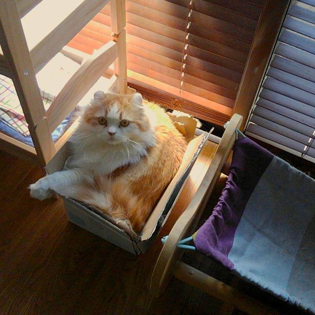 二段ベッドよりハンモックより段ボール。#段ボールlover#catsofinstagram #catlover #catoftheday #catsagram #猫 #ねこ #ネコ