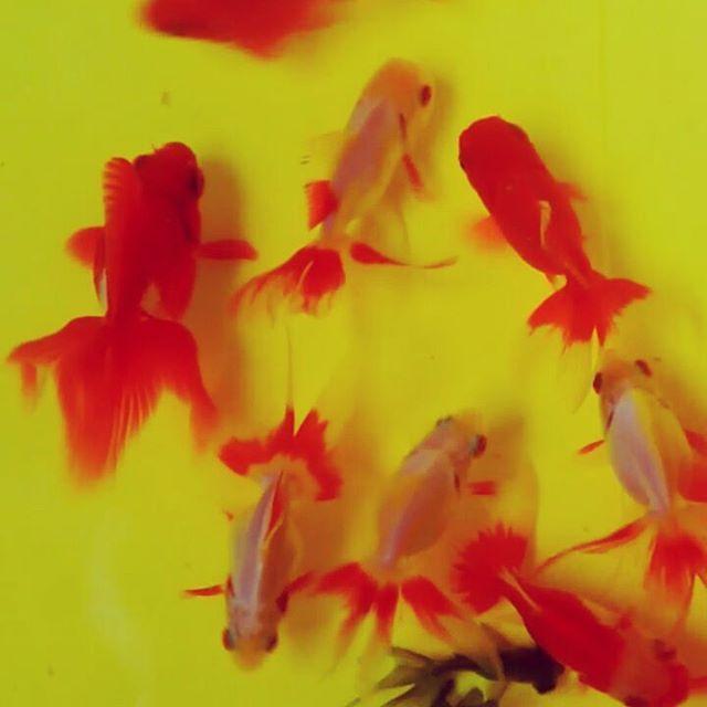 テキヤ始めました#金魚 #goldfish