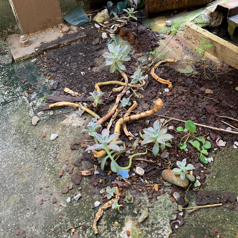 三階の大家さんの鉢植えから溢れた多肉植物が自生してた。建物の裏で薄暗くサビの塊とコンクリートの地面でどう見ても過酷な環境なのにウチの事務所内の鉢より元気そう。